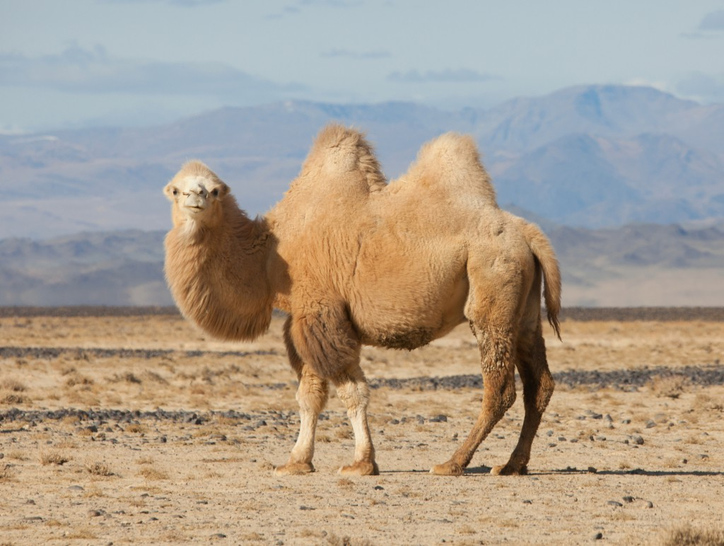 Trampeltier in der mongolischen Steppe